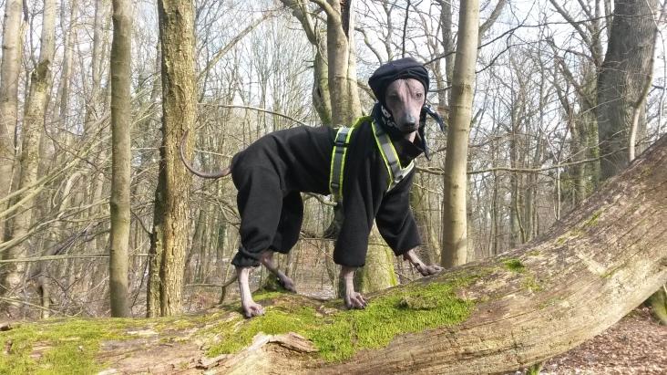 Da Dukiiis Anzug langsam zu knapp wurde, gab es den ersten maßgeschneiderten Anzug von Hundumschick. Sehr schick!