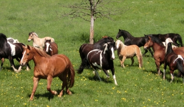 Donars erster Weideauftrieb in der großen Herde. Ein Pferdeparadies!