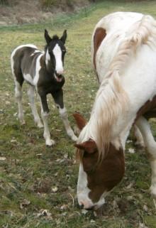 """""""Kleiner Donner"""" als Fohlen mit seiner Mama Fly."""
